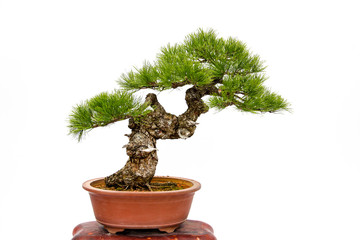 Foto op Plexiglas Bonsai Evergreen bonsai on white