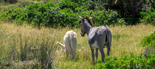 Small white donkey and adult donkey in wild nature going side by side into distance