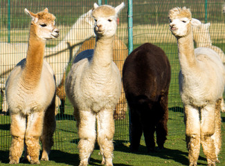 La pose en embrasure Lama 4 alpacas - 3 white and 1 black photographed on a farm in the Netherlands Zuid Holland