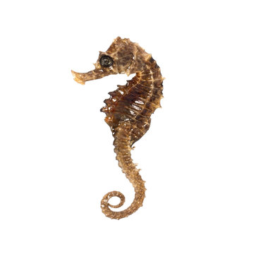 Closeup of a sea horse swimming on a white background