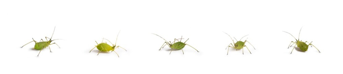 Türaufkleber Makrofotografie green aphid