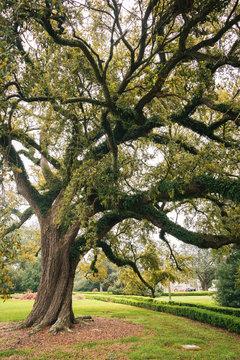 A tree in Baton Rouge, Louisiana