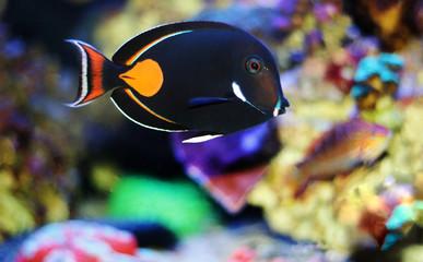 Achilles Surgeon Fish Tang - (Acanthurus achilles)