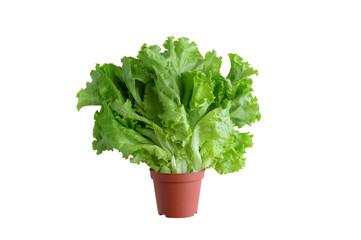 Green leaves of fresh lettuce in a brown pot. White isolate