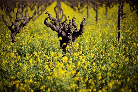 Zinfandel Plant Vineyard and yellow flowers
