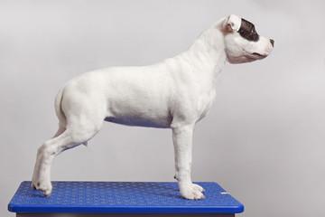 white staffordshire bull terrier
