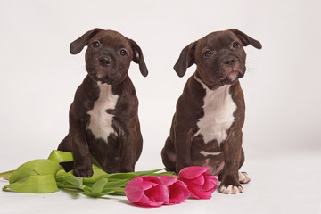 two little brown staffordshire bull terriers