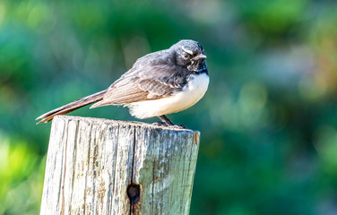 Willie Wagtail on Post
