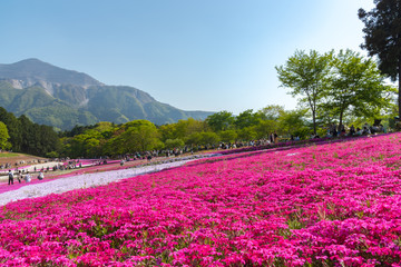View of Pink moss (Shibazakura, Phlox subulata) flower at Hitsujiyama Park. The hills are filled with pink, red, blue, white flowers. Shibazakura festival in Chichibu city, Saitama Prefecture, Japan.