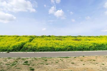 宅地造成地と江戸川土手に咲く菜の花風景 Wall mural