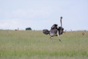 Wall Murals Ostrich Ostrich running in Massai Mara
