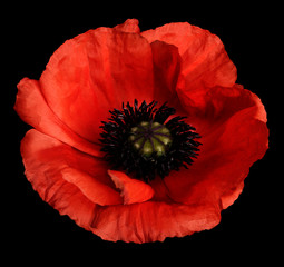 red poppy flower on the black isolated background with clipping path.   Closeup.  no shadows.  For design.  Nature.