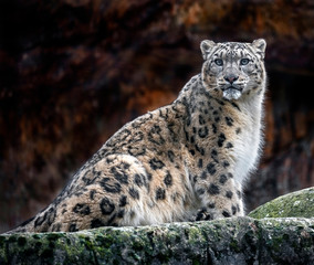 Poster Leopard Snow leopard on the rock. Latin name - Uncia uncia