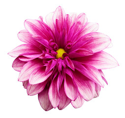 Poster Rose flower isolated pink dahlia on a white background with clipping path. For design. Closeup. Nature.