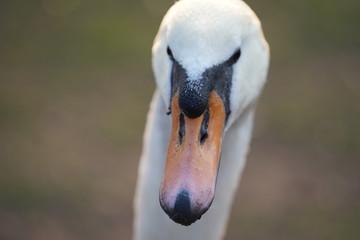 Photo Blinds Swan Witte Zwaan
