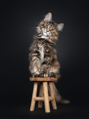 Wall Mural - Majestic tortie Maine Coon cat kitten sitting facing front on little wooden stool, looking at camera with brown eyes. Isolated on black background. Tail hanging down from stool.