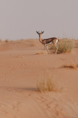Sand gazelle looking into camera on a sand dune on a Dubai desert safari in the wilderness