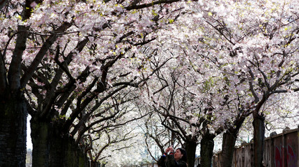 A woman takes pictures on a street during cherry blossom season near Bornholmer Strasse in Berlin