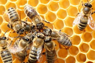 Honigbienen kommunizieren miteinander