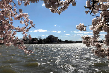 The Jefferson Memorial is seen through cherry blossoms along the Tidal Basin as thousands of people flock to see the annual blooms in Washington