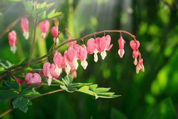 Close up of a cluster of bleeding hearts growing in the spring.Dicentra spectabilis in the garden Pretty pink bleeding heart flowers string out on a branch. copy space