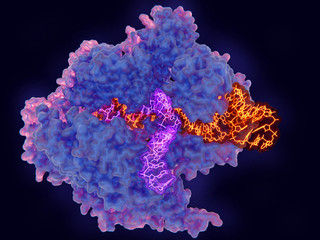 CRISPR-Cas9: The Cas9 enzyme in complex with RNA (yellow) and single stranded DNA (violet)