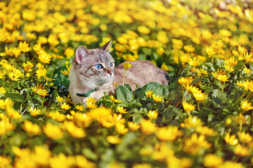 Tabby blue eyes cat walking outdoor at the spring yellow flowers lawn