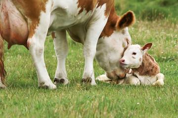 cow_calf Fototapete