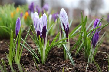 Aluminium Prints Crocuses Beautiful purple crocus flower. Early spring flowers.