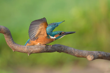 Martin Pescatore pronto per volare (Alcedo atthis)