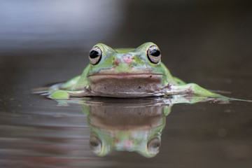 In de dag Kikker Swim Frog