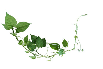 Wall Mural - Twisted jungle vines liana plant with heart shaped green leaves isolated on white background, clipping path included.