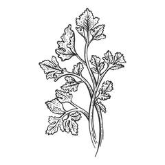Cilantro Coriander parsley green herb spice sketch engraving vector illustration. Scratch board style imitation. Hand drawn image.