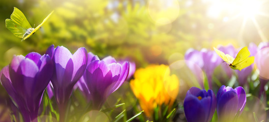 Fototapete - beautiful spring background. blossom spring flowers on morning sunlight in the april park