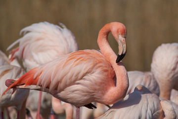 Garden Poster Flamingo Pink and white plumage of a Greater Flamingo (Phoenicopterus roseus)