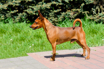 Miniature Pinscher in profile.  The Miniature Pinscher is in the park.