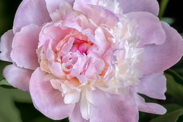 Close up of pink peony flower. Macro photo with shallow depth of field and soft focus.