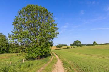 Landschaft mit Getreidefeldern, Wiese, Esche und Feldweg im Frühling in der Holsteinischen Schweiz in Schleswig-Holstein.