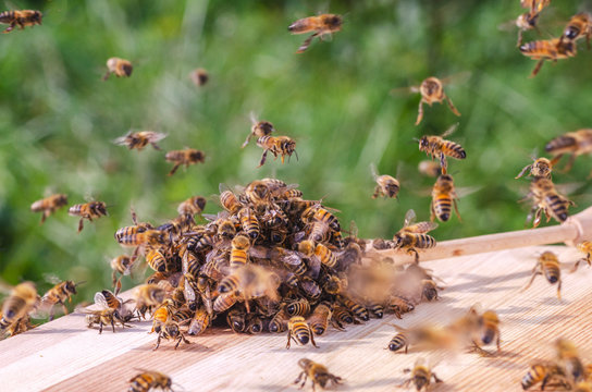 swarm of bees around a dipper soaked in honey in apiary