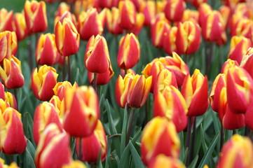 Aluminium Prints Tulip field of red tulips