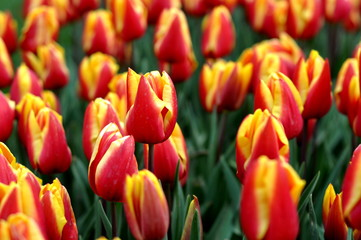 Aluminium Prints Tulip red tulips in the garden