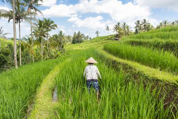 Female farmer working in beautiful Jatiluwih rice terrace plantations on Bali, Indonesia, south east Asia.
