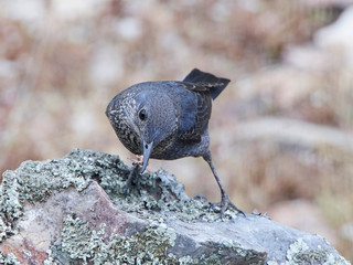 Blue rock thrush (Monticola