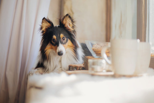Dog with breakfast. Coffe and tea with cakes on the wooden plate. Shetland sheepdog (Sheltie)