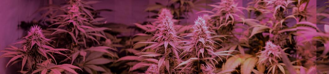 Medical marijuana panorama with flowering buds.