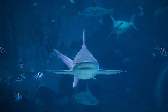A silvertip shark swimming toward camera in a blue water aquarium in Singapore