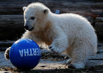 """The Tierpark Berlin zoo names its female polar bear cub """"Hertha"""" during a ceremony in Berlin"""