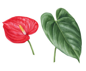 Watercolor hand-drawn illustration of anthurium flower and leaf