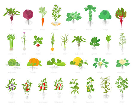 Agricultural plant icon set. Vector farm plants. Beets cabbage carrots potatoes celery garlic and many other. Popular vegetables set.