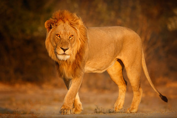 Beautiful lion male portrait in amazing evening light. Wild animal in the nature habitat. African wildlife. This is Africa. Lions leader. Panthera leo.